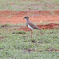 Crowned lapwing-1246 - Flickr - Ragnhild & Neil Crawford.jpg