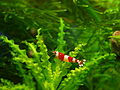 "Crystal Red Shrimp (Caridina cf. cantonensis sp. ""Crystal Red"").jpg"
