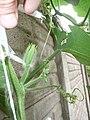Cucurbita moschata (zapallo espontáneo) yema floral masculina M07 sépalos tricomas yema axilar vegetativa con yema floral femenina muy joven F07.JPG