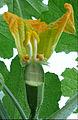 """Cucurbita pepo """"zapallo de Angola"""" semillería La Paulita - flor femenina (VE02) sección de perianto y ovario y 1 estilo removido.jpg"""