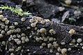 Cup fungus (35800953475).jpg