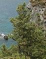 Cupressus sempervirens Corfu.jpg
