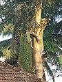 Cycas circinalis 4.jpg