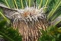 Cycas revoluta 32zz.jpg