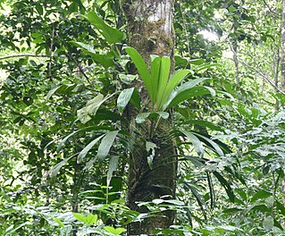 <i>Evodianthus</i> genus of plants