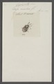 Cyclopelta - Print - Iconographia Zoologica - Special Collections University of Amsterdam - UBAINV0274 040 03 0029.tif