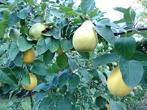 Quince foliage and ripening fruit