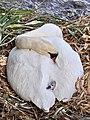 Cygnus olor (Küken) - Arboretum 2011-05-28 17-34-24.jpg
