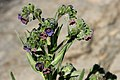 Cynoglossum officinale - Flickr - aspidoscelis (2).jpg