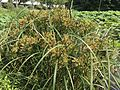 Cyperus ohwii and Nelumbo nucifera in north moat of Fukuoka Castle 3.jpg
