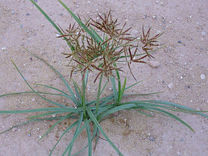 300px-Cyperus_rotundus_Habitus_2010-7-11_LagunadelaMata.jpg