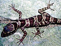 Cyrtodactylus phongnhakebangensis.jpg