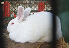 Czech Albino Rabbit 2.jpg