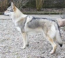 Esemplare di cane lupo Cecoslovacco