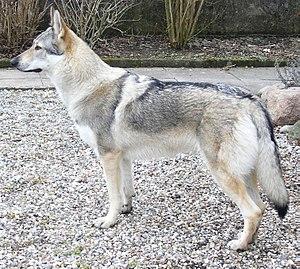 Canid hybrid - A Czechoslovakian Wolfdog
