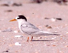 DOC Fairy Tern photos 06 (cropped for speciesbox).jpg