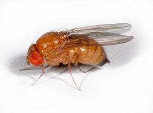 Drosophila suzukii - Image: D suzukii female 1