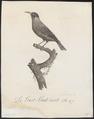 Dacnis spiza - 1802 - Print - Iconographia Zoologica - Special Collections University of Amsterdam - UBA01 IZ19000387.tif