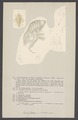 Dactylocera nicaensis - - Print - Iconographia Zoologica - Special Collections University of Amsterdam - UBAINV0274 006 03 0019.tif