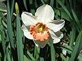 Daffodil 4.jpg