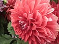 Dahlia from Lalbagh Flower Show August 2012 4614.JPG