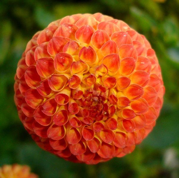 Ficheiro:Dahlia pompom.jpg