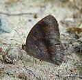 Dark-brand Bushbrown^ Mycalesis mineus - Flickr - gailhampshire.jpg