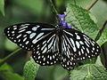 Dark Blue Tiger or Tirumala Septentrionis from Koovery.jpg
