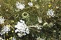 Daucus carota-4326.jpg
