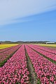 De Cocksdorp tulip fields 5.jpg