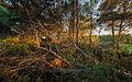 Dead Aleppo Pine, Pinet.jpg