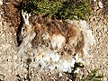 Dead rabbit (Gozo).jpg