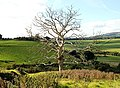 Dead tree near Pilsley - geograph.org.uk - 580714.jpg