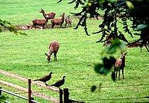 Deer and pheasants near Wootton Lodge - geograph.org.uk - 574072.jpg