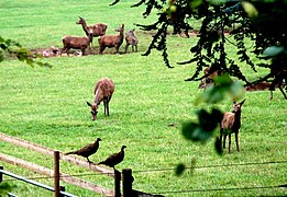 Deer and pheasants near Wootton Lodge - geograph.org.uk - 574072.jpg