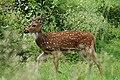 Deer in Mudumalai forest.jpg