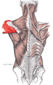 Deltoideus posterior.PNG