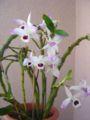 Dendrobium anosmum 2.JPG