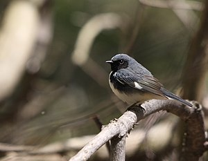 Black-throated Blue Warbler (Dendroica caerule...
