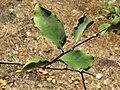 Dendrophthoe falcata var. falcata - Honey Suckle Mistletoe at Blathur 2017 (14).jpg