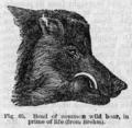 Descent of Man - Burt 1874 - Fig 65.png