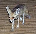 Desert fox (Vulpes rueppellii) cropped.jpg