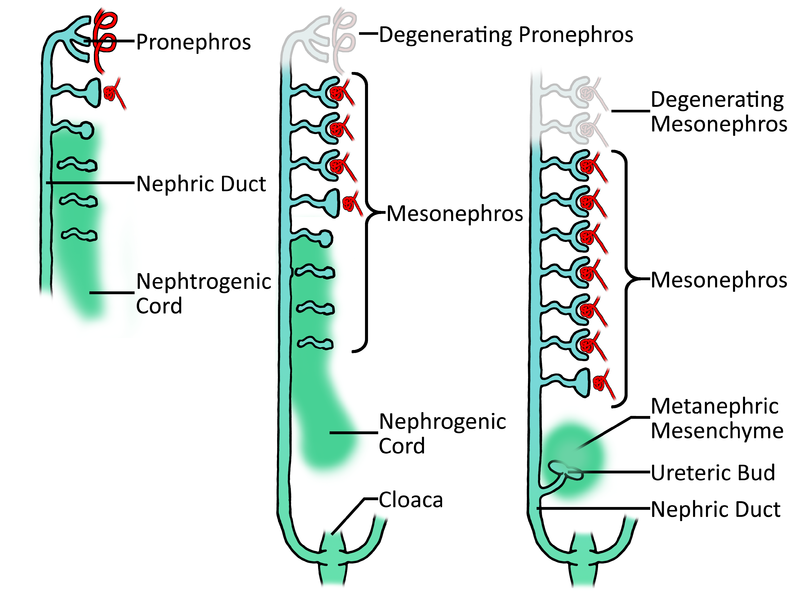 File:Development of embryonic nephrons.png