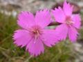 Dianthus sylvestris.JPG
