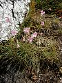 Dianthus sylvestris001.jpg