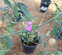 "Dicliptera resupinata, ""Arizona Foldwing"".jpg"
