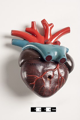 Didactic model of an amphibian heart. Didactic model of an amphibian heart-FMVZ USP-14.jpg