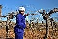 Die Mas vineyard, Wine Route, Upington, Northern Cape, South Africa (19917187443).jpg