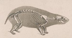 Hamster - Skeleton of European hamster