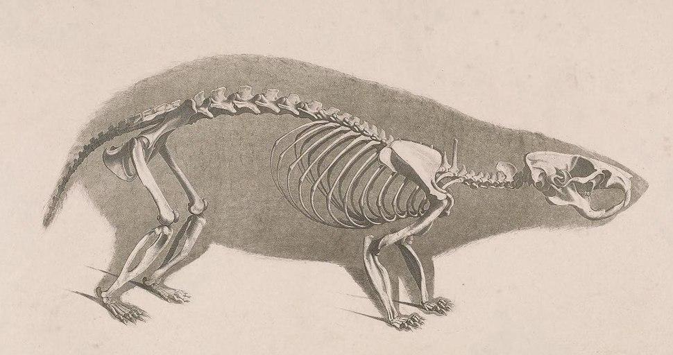Die vergleichende Osteologie (1821) Cricetus cricetus